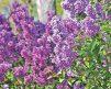 Lilac Lavender Lady