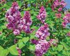 Lilac Paul Thirion