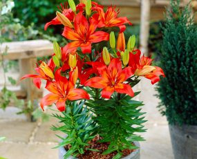 Lily Asiatic Matrix 1