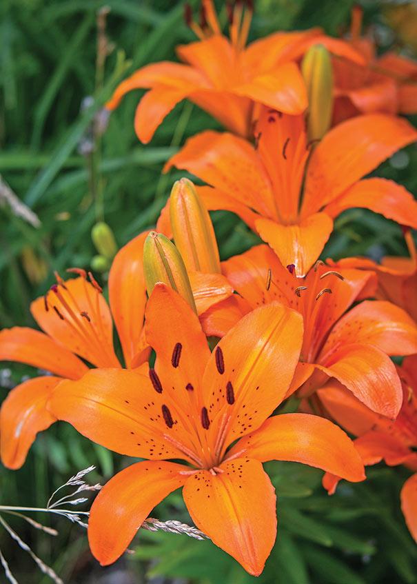 Hardy Lily Asiatic Matrix Orange Degroot