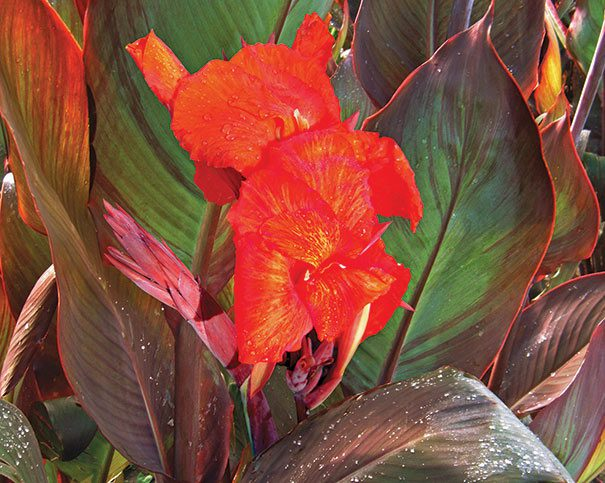 Canna RedKingHumbert Detail