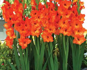 Glad Orange Sun Kissed