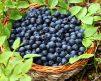 Blueberry SunshineBlue 2