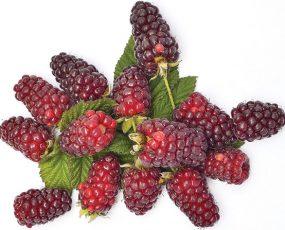 Loganberry 1