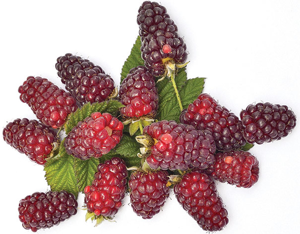 Loganberry Degroot