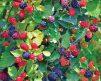 Loganberry 2