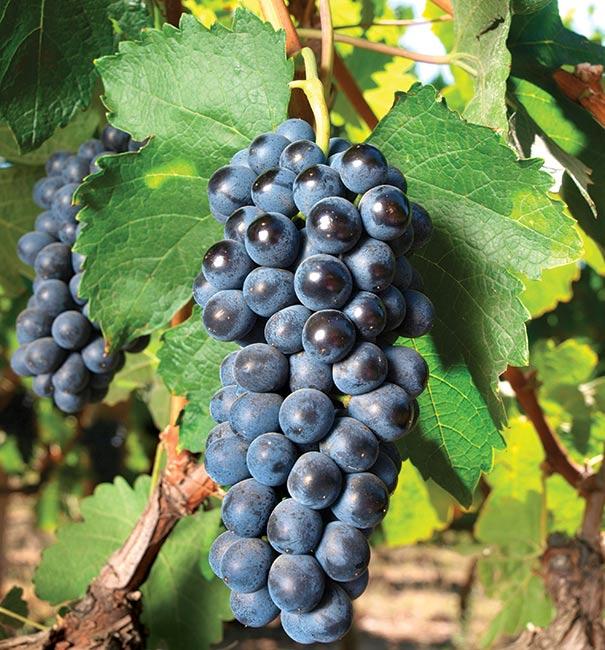 Grape Concord Blue Degroot