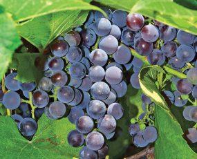 Concord Grapes 3