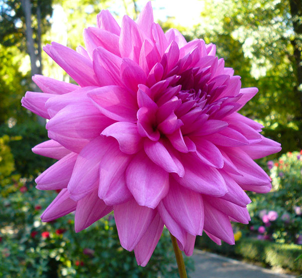 Dahlia Decorative Rosella De Groot Inc Perennials