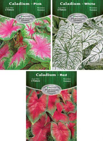 Caladium ASSORT