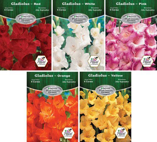 Gladiolus Assortment Web