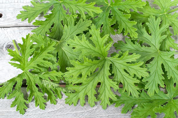green citronella leaves on a light gray wooden background