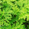 close up image of citronella leaves shows the bright green lacy leaves