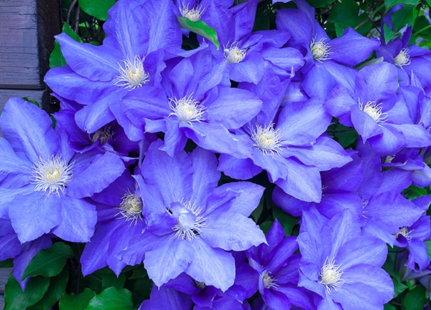Group of Clematis Rhapsody blossoms in front of a wood background
